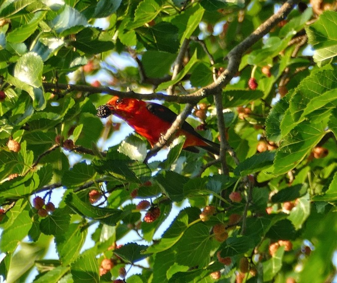 Tanager